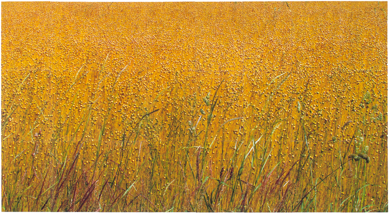 Half the Seed - crop near Fricourt, 2015, photographic print, 33 x 64 in