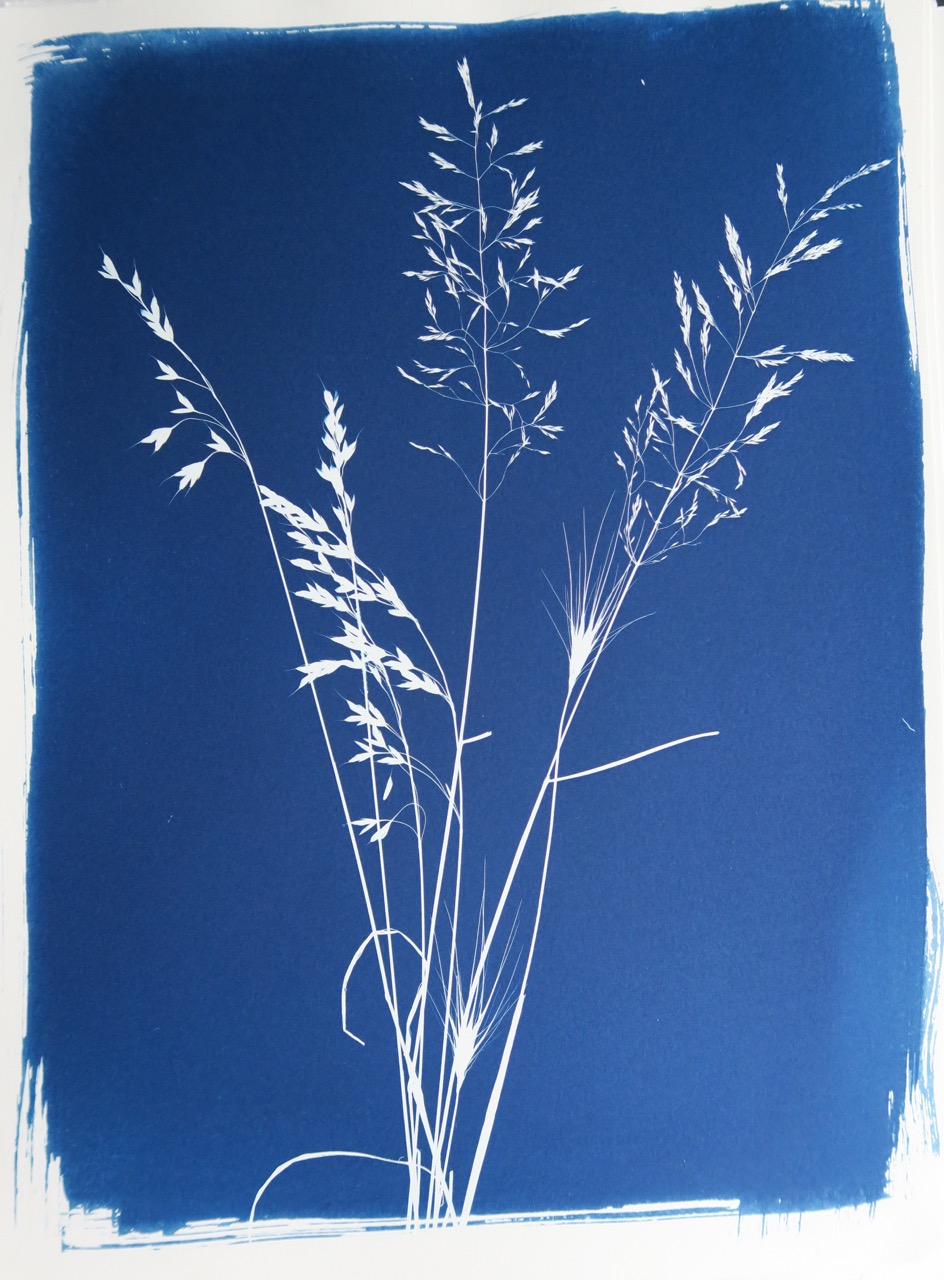 Regent's Park, August 2015, cyanotype photogram from a series of 25, hand printed on Arches Platine paper, 42 x 30 cm